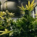 Aggiungere CO₂ per Aumentare la Produttività della Cannabis