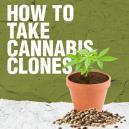 Come fare talee di Cannabis