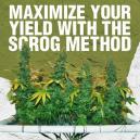 Ottimizza il tuo raccolto con il metodo ScrOG