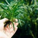 Cosa Fare Quando Le Piante di Cannabis Coltivate Indoor Non Fioriscono