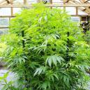 Come Evitare che le Piante di Cannabis Indoor Diventino Troppo Grandi