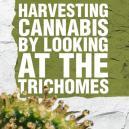 Raccogliere la Cannabis osservando lo stadio di sviluppo dei tricomi