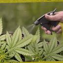 Come e Perché Usare gli Spray Fogliari sulle Piante di Cannabis