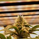 Guida Completa all'Illuminazione per la Cannabis Autofiorente e Femminizzata