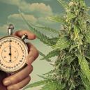 Programmi d'Illuminazione per Piante di Cannabis Autofiorenti