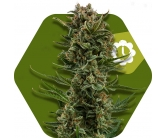 White Widow XL Autofiorente