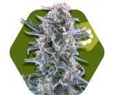 Blueberry Autofiorenti