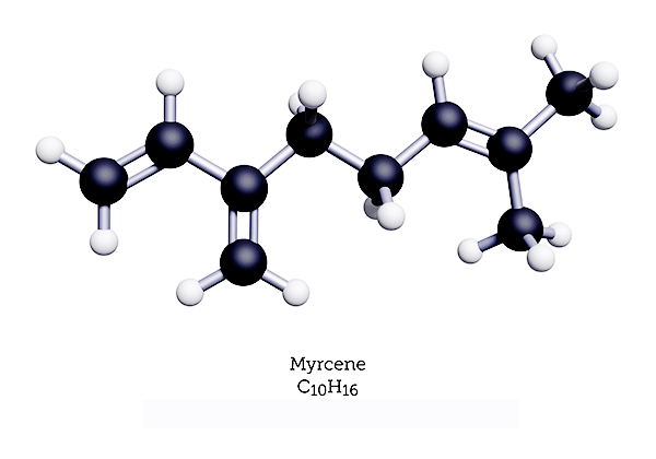 Myrcene is the dominant terpene in almost every strain