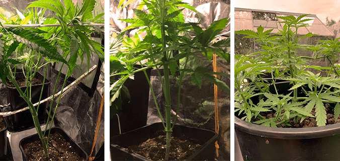 Defoliation Mistakes
