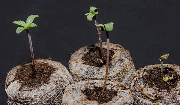 Cannabis Seedlings