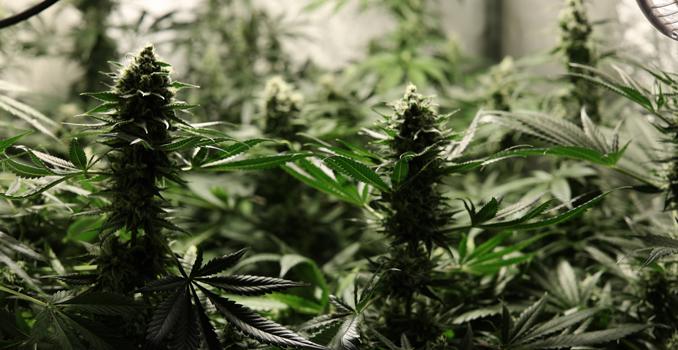 C02 coltura di cannabis