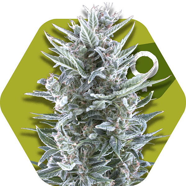 blueberry cannabis strain