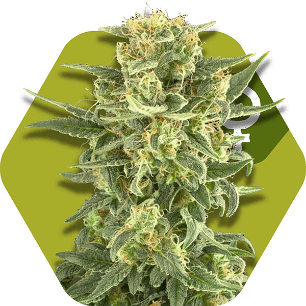 White cheese Cannabis strain