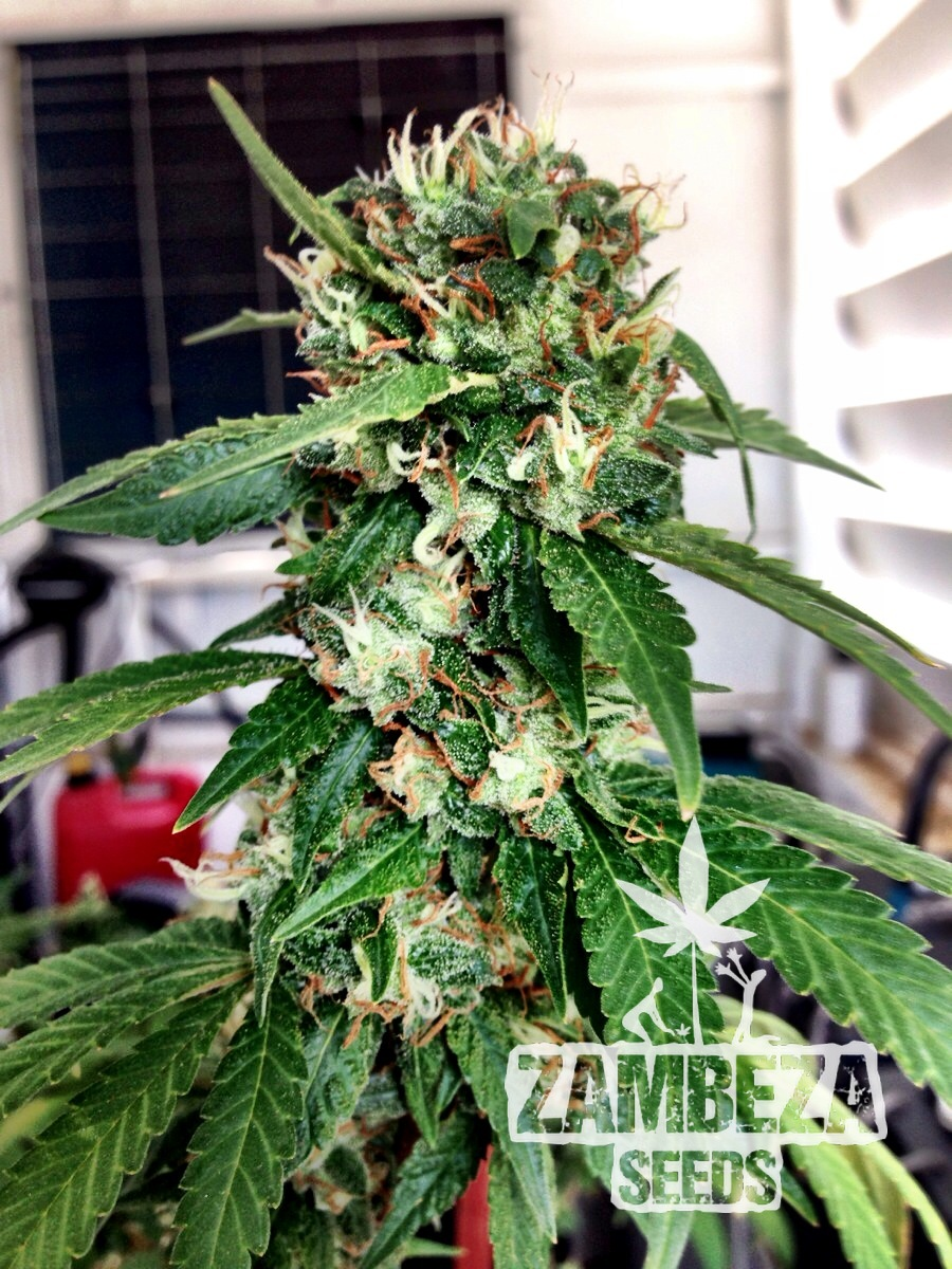 Blueberry Haze Femminizzati Semi di Cannabis