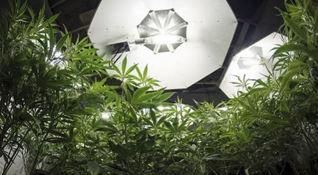 La Quantità Ottimale Di Luce Per Le Piante Di Cannabis