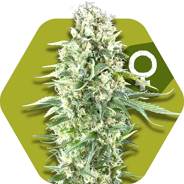 Power Plant XL cannabis seeds