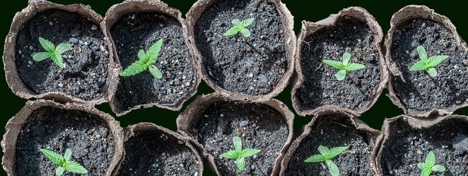 Come Travasare La Vostra Cannabis Per Avere Delle Piante Piu Grandi