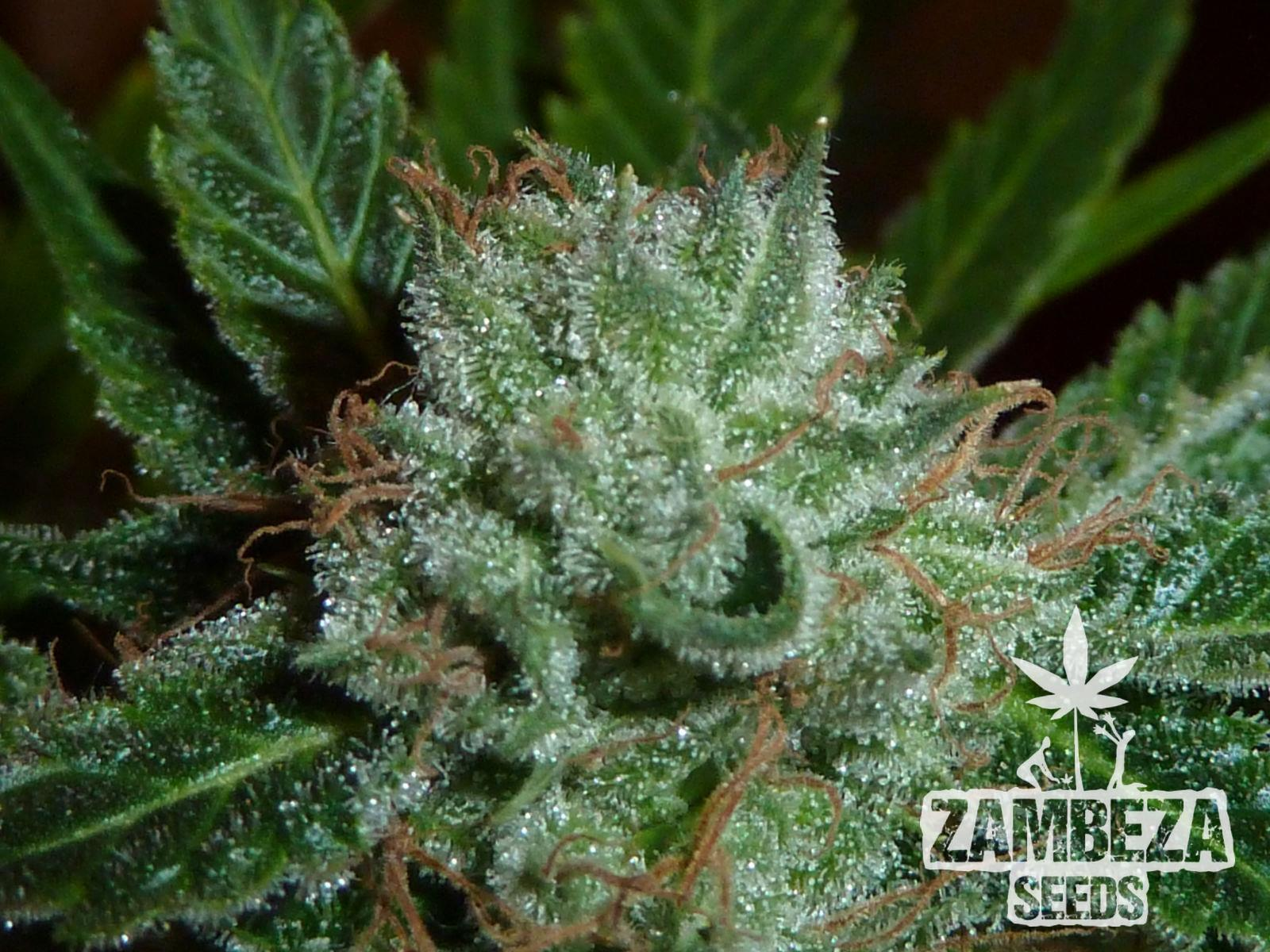 Zambeza Seeds White Widow Semi di cannabis
