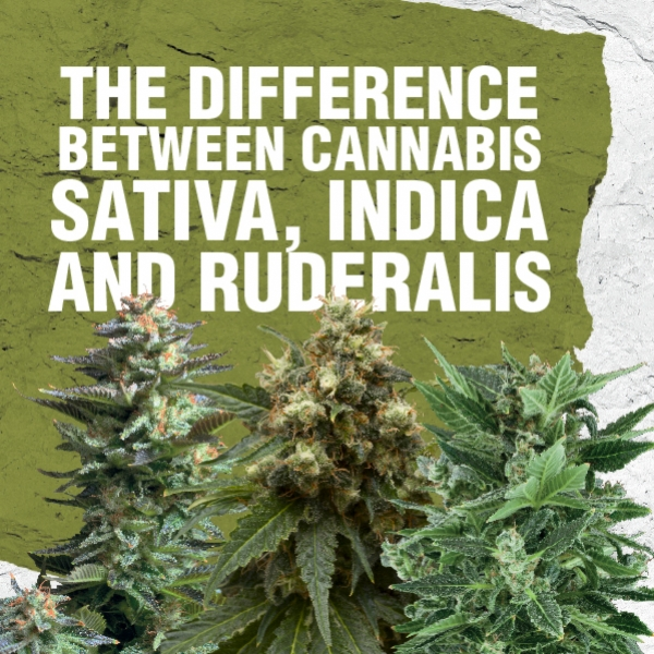 Differenze tra Cannabis sativa, indica e ruderalis
