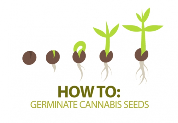 Come far germinare i semi di Cannabis
