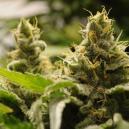 Le 5 Varietà de Cannabis Autofiorenti Più Facili da Coltivar
