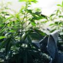 La Fase Vegetativa della Cannabis
