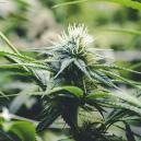 La Fase di Fioritura della Cannabis