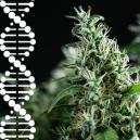 Come Riprodurre E Preservare Le Tue Genetiche Di Cannabis