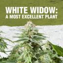 White Widow: Una pianta tra le migliori