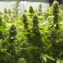 I Modi Migliori per Aumentare le Rese di Cannabis