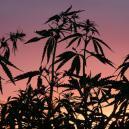 Perché Il Ciclo Di Buio È Importante Per La Cannabis