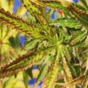 Le Cause delle Foglie di Cannabis Secche e Come Prevenirle