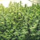 Coltivare Diverse Varietà di Cannabis nella Stessa Stanza
