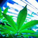 Usare Le Luci LEC Per Coltivare Cannabis
