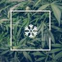 Coltivare Marijuana In Climi Freddi