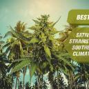 Le Migliori Varietà Di Cannabis Sativa Per Climi Meridionali