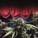 Le Varietà Di Cannabis Più Produttive Di Zambeza