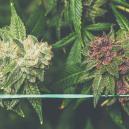 Come Coltivare Cannabis Viola