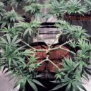 Come Fare il Main-Line alla Pianta di Cannabis