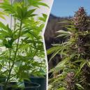 Spostare Le Piante Di Cannabis Da Indoor All'Aperto