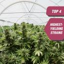 Le 4 Varietà Di Cannabis Più Produttive Di Zambeza