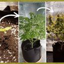 Fasi di Crescita di una Pianta di Cannabis